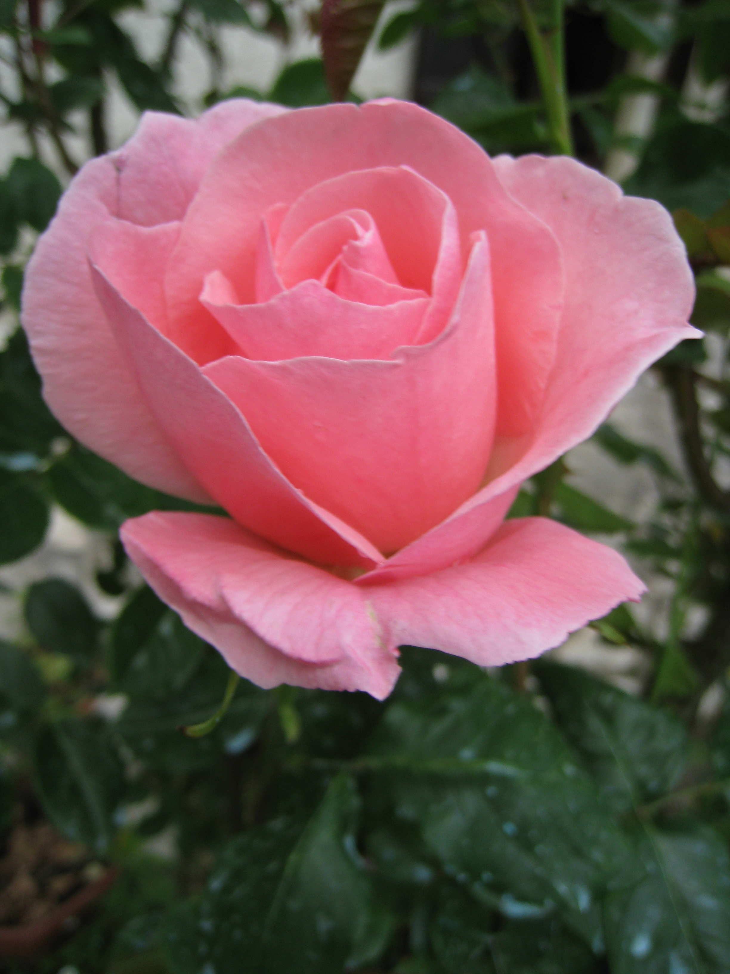 Fleurs roses de mon jardin for Jardin roses