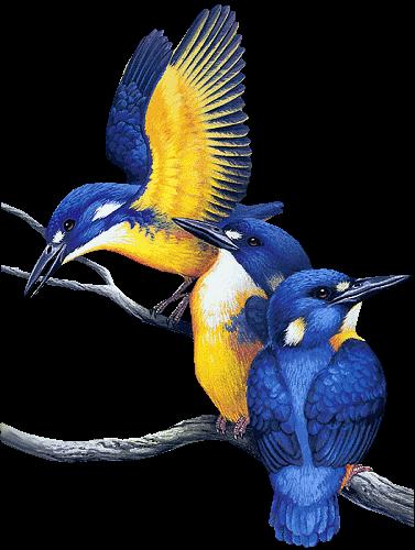 oiseaux bleu et jaune oiseau bleu et jaune
