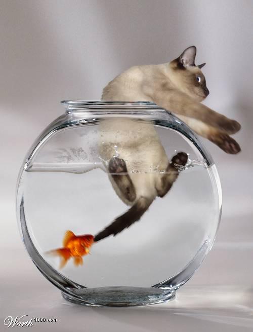 chat attrapé par un poisson dans un bocal