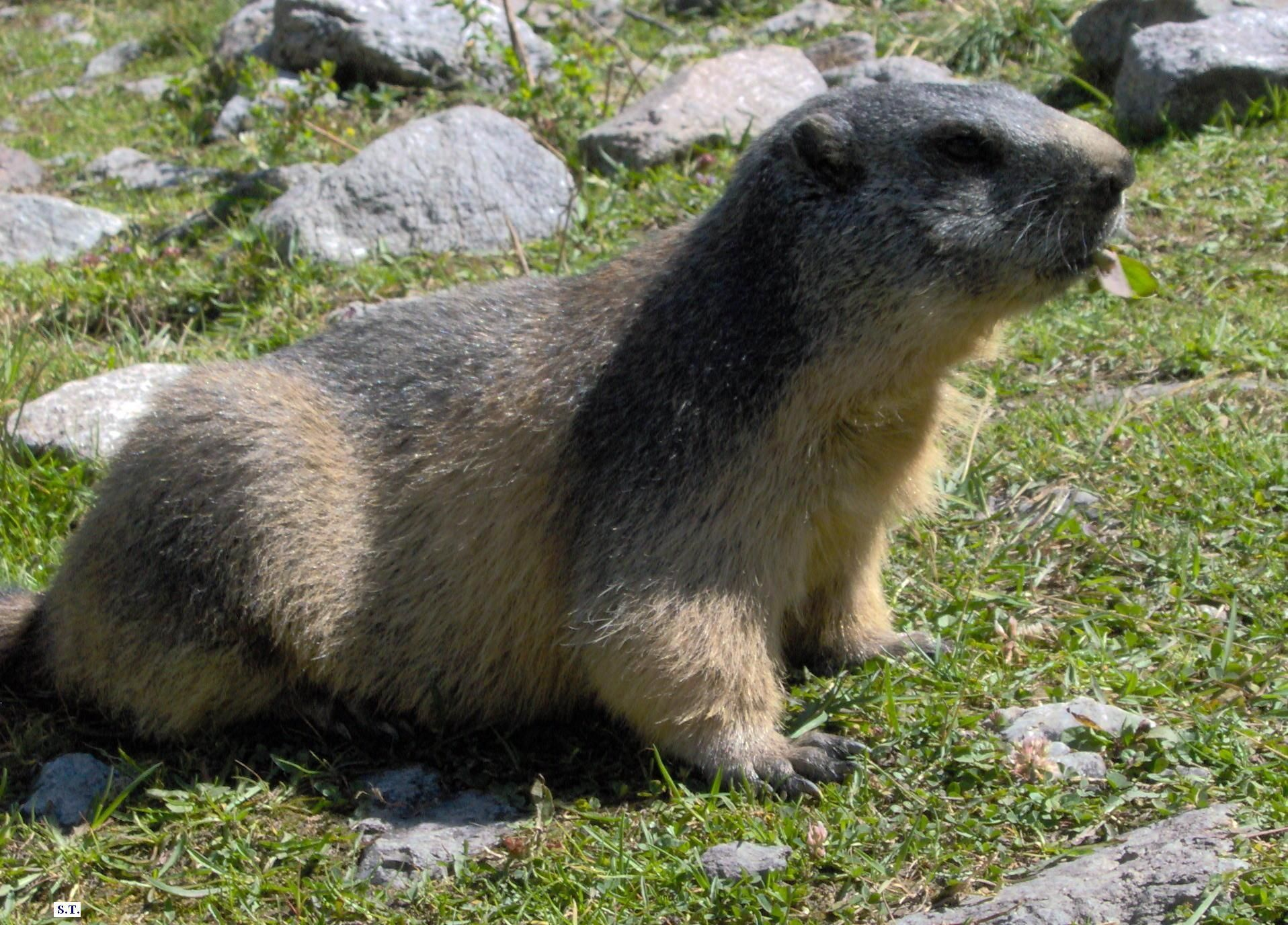 100 une marmotte centerblog - Dessiner une marmotte ...