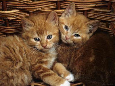 Chats dans un panier
