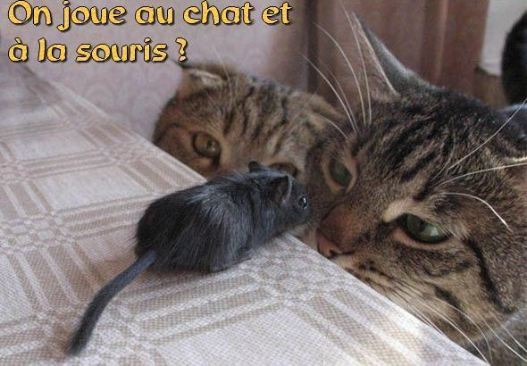 Chat qui regardent une souris