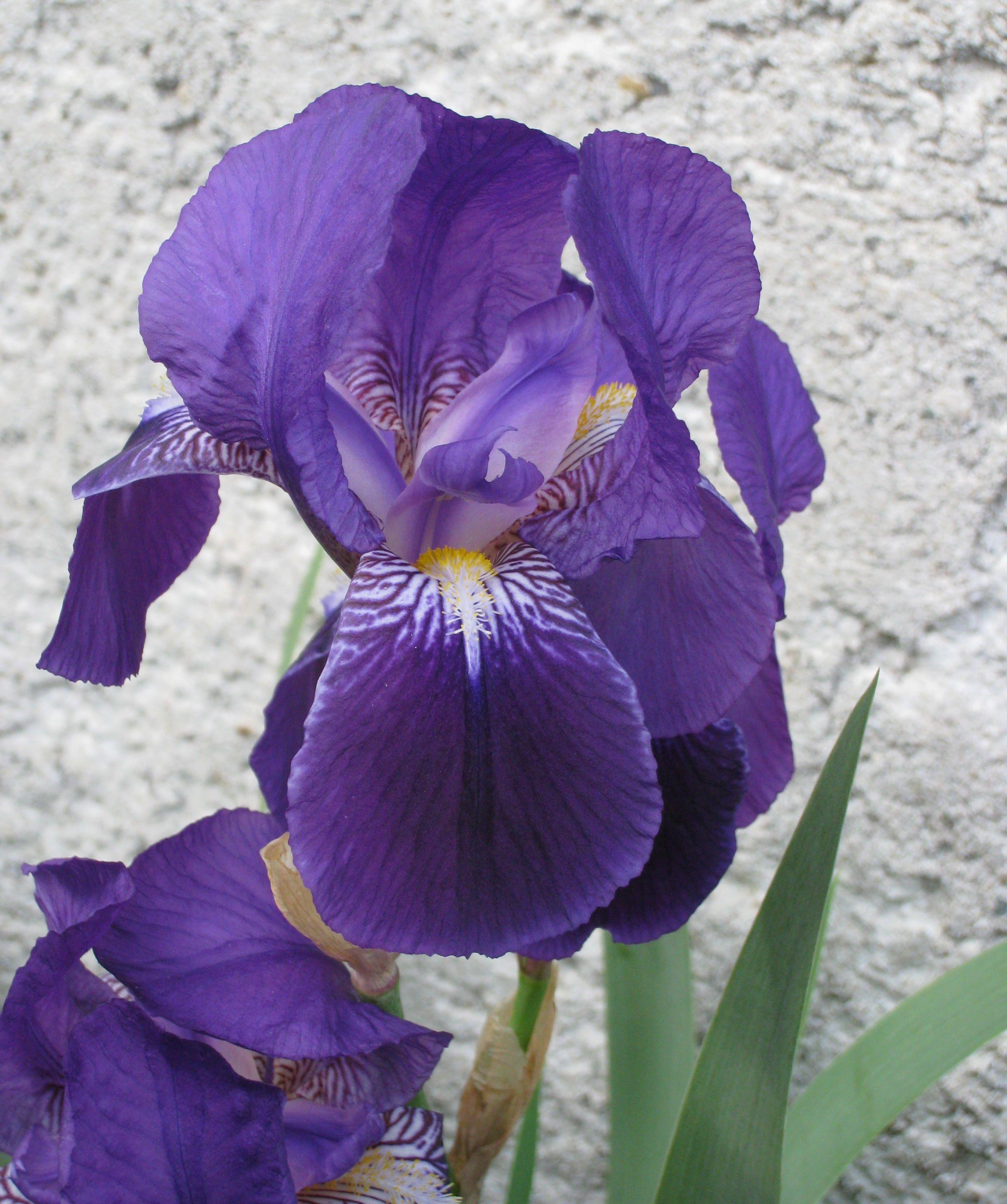 Fleurs de mon jardin page 6 - Langage des fleurs iris ...