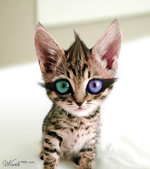 chat avec de yeux vairons