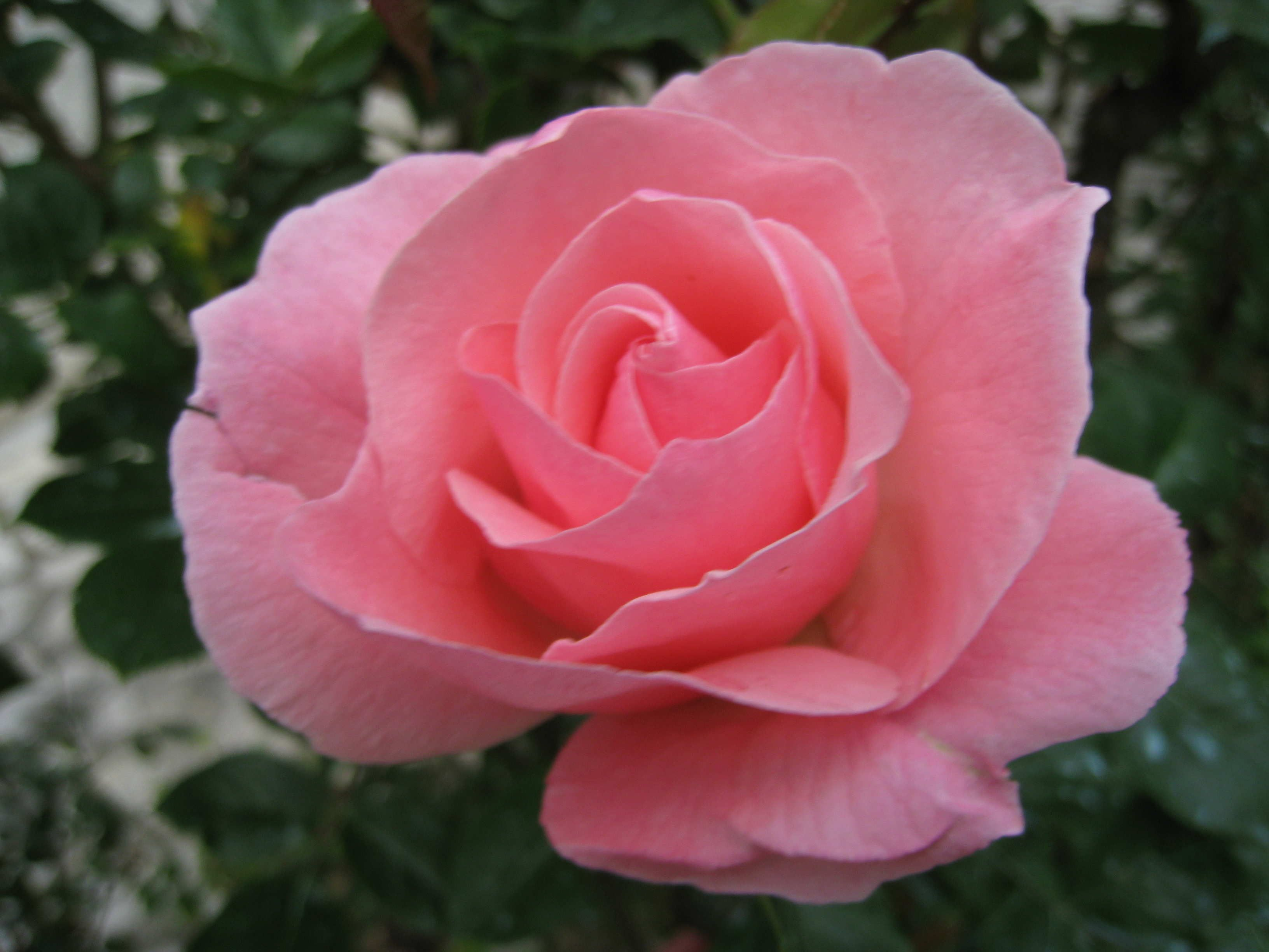Blog de luluaccordeon : ACCORDEONISTE LUCIEN NOURTIER, UNE ROSE POUR SANDRA